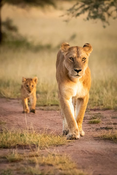 Lioness walks along sandy track with cub