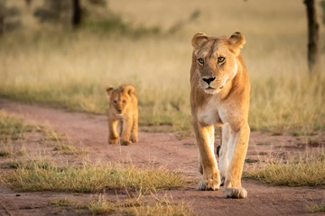 Lioness walks on sandy track with cub Fotomurales