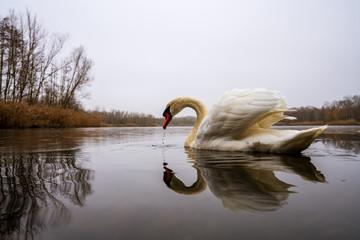 In de dag Zwaan A beautiful swan on a frozen lake
