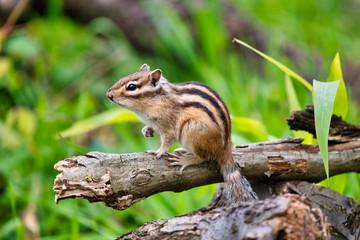 Tuinposter Eekhoorn Chipmunk, Japan, Saitama, wild animals
