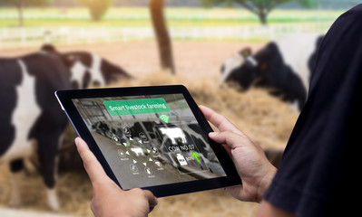 Acrylic Prints Cow Smart Agritech livestock farming.Hands using digital tablet with blurred cow as background