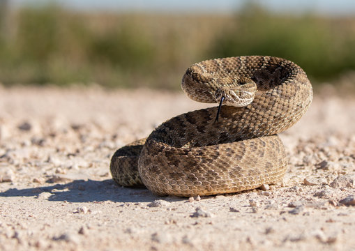 Texas rattlesnake curled up ready to attack