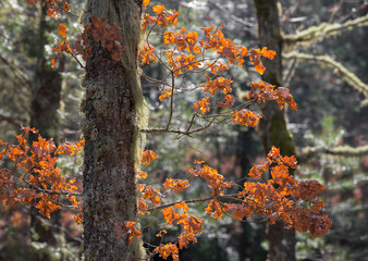 Orange leaves from an old tree in winter, UNESCO World Heritage Geres National Park, Portugal.