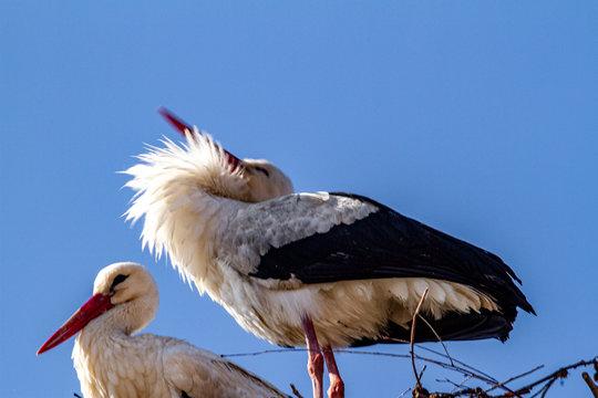 Stork in spring