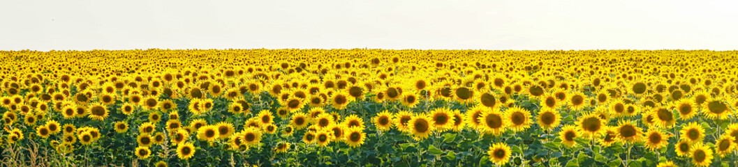 Panorama Yellow field of flowers of sunflowers against a light, white sky