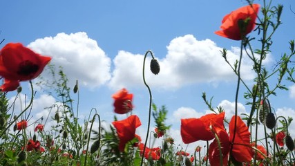 Wall Mural - wild growing poppies flowers on a wind at the spring field
