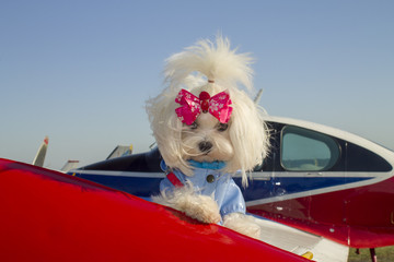 Dressed Maltese Dog on the wing of a private light aircraft airplane white dog on a plane