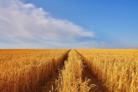 landscape with tractor road in wheat field
