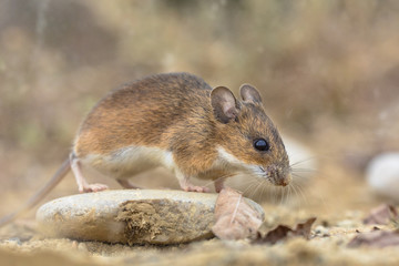 yellow-necked mouse on rock