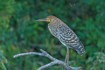 Rufescent Tiger Heron in a Pantanal Gallery Tree