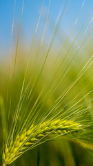 Wheat green background spring picture