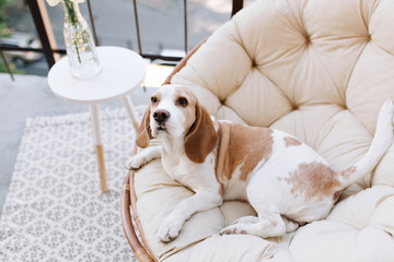 Amazing beagle dog resting after active games on balcony in summer day. Photo of cute tired puppy lies in chair near table with vase on terrace.