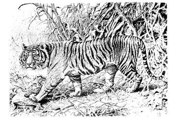 Tiger - Vintage Engraved Illustration 1889
