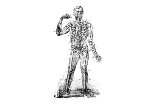 Human skeleton - Vintage Engraved Illustration 1889