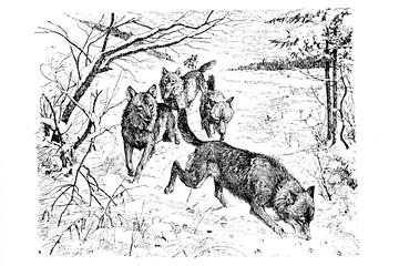 Wolf - Vintage Engraved Illustration 1889