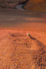 Little bird standing on hot, lush lava - terracotta color volcanic desert in Lanzarote, Canary Islands