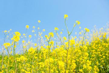 Foto auf AluDibond Gelb 菜の花