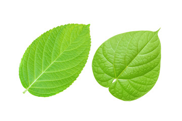 Two green leaf isolated on white background with clipping path.