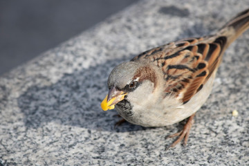 Photographed while eating the brown sparrow corn kernels. Corn kernels are boiled.