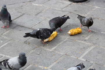 Pigeons eating corn grains. And s close-up on the stone paving.