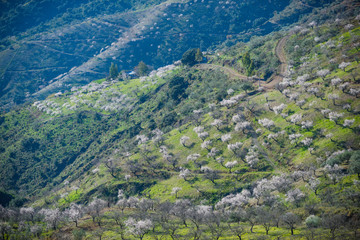 Mountainous landscape with almond trees in bloom in Malaga, Spain