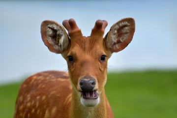 Sika deer, Cervus nippon¸