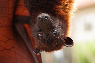 Happy gaint fruit bat