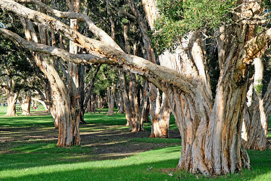 A forest of broad-leaved paperbark trees in Australia. This tree is also known as paper bark tea tree, punk tree or niaouli