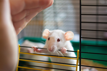 Curious little white laboratory rat looking out of a cage and a hand of a researcher (selective focus on the rat eyes)