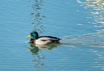 Mallard ducks (Anas platyrhynchos)  swimming on a lake.