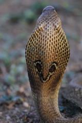 SPECTACLED COBRA. Naja naja. Venomous, common. Elapidae, Pune.