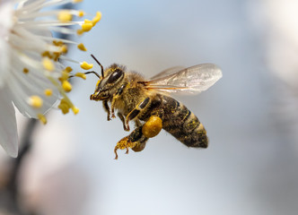 A bee collects honey from a flower