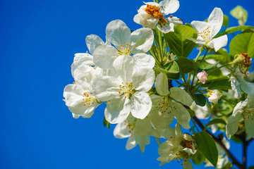 White flowers of apple tree. Blossoming on a blue background in spring.