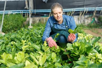 Female gardener checking malabar spinach
