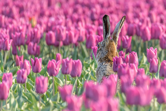 A hare (lepus europaeus) sits up in a purple tulip field