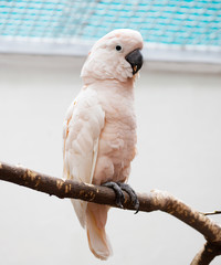 Moluccan cockatoo. This is a rare, extremely beautiful and one of the largest birds among white parrots. The plumage is white with a pink tinge.