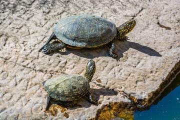 Turtles in Baptisterium Pagezimi in Butrint site in summer, Albania Wall mural