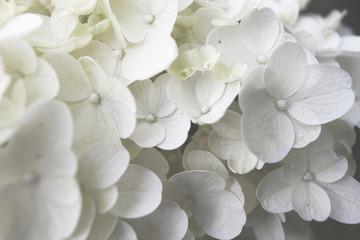 Zelfklevend Fotobehang Hydrangea close up of blooming white hydrangea flower