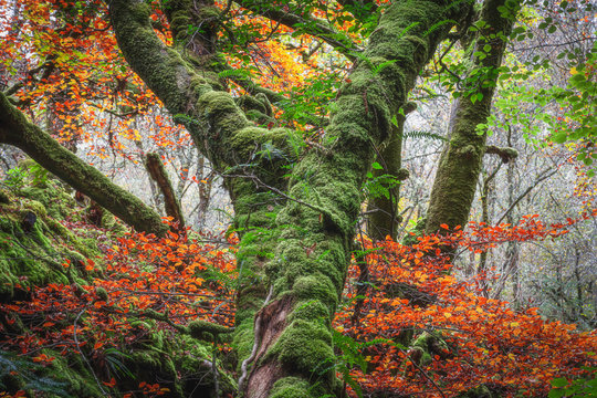 Mossy tree trunk with ferns surrounded by orange leaves in misty autumn woodland.Tranquil landscape scene in old growth forest.Beauty in nature.October in Scottish Highlands.