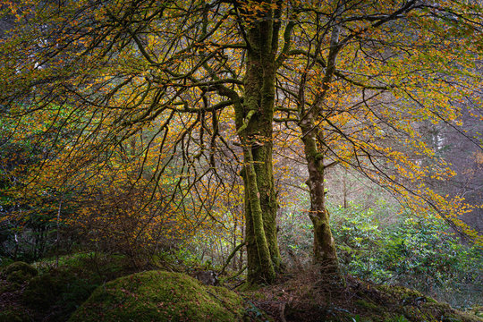 Tree with orange leaves in misty autumn woodland.Tranquil landscape scene with atmospheric mood.Beauty in nature.October in Scottish Highlands.