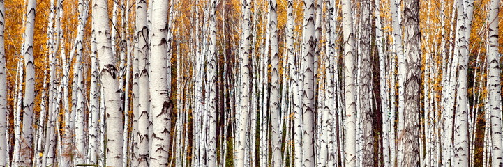 Photo sur Aluminium Bosquet de bouleaux Autumn landscape. White trunks of young birches on a sunny day.