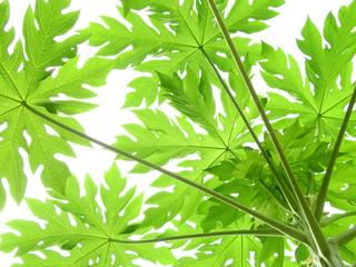 Wall Mural - papaya tree with green leaf