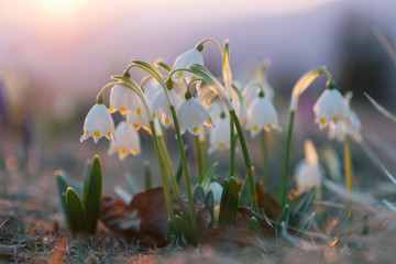 Spring snowdrops in the wilderness Fotomurales