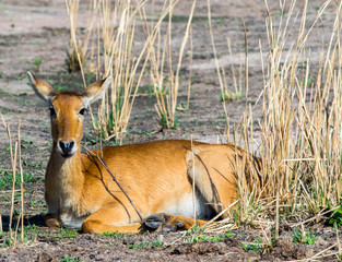 Isolated Puku Antelope resting on the dry African Plains in South Luangwa National Park, Zambia