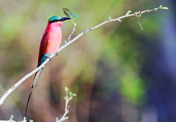 Solitary Carmine Bee Eater perched on a long thin bare branch with a natural blurred plains background,