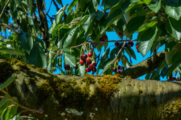 Tree branches full with shinny red young cherries in the zurich Oberland region. Blue sky in the background