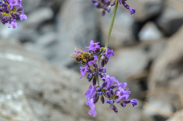 lavender flower with a visiting bee
