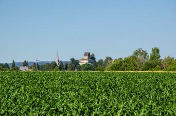 Corn fields in the Zurich Oberland region, in summer