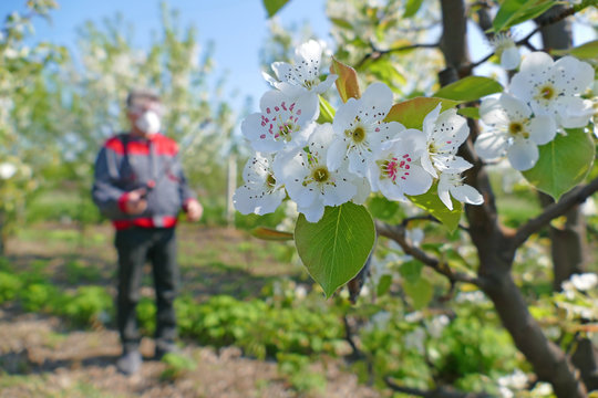 Agricultural senior worker in a blossom apple orchard spraying pesticide to protect against disease and insects