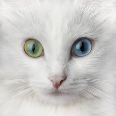 Foto op Plexiglas Kat White cat with multi-colored eyes, unusual. Turkish angora with different colored eyes.